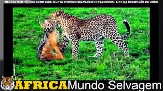 Download Lagu ÁGUIA VS LEOPARDO VS LEÃO VS BABÚINO VS HIENAS  EAGLE VS LEOPARD VS  LION VS HYENAS Mp3