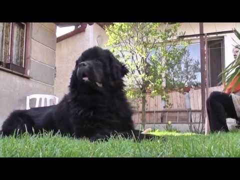 Newfoundland Dog ,Connie Black Brothers,Bear of Geletsland