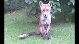 Leatherhead United Kingdom  City new picture : Wild foxes in Leatherhead, UK.