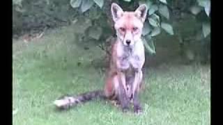 Leatherhead United Kingdom  city photos : Wild foxes in Leatherhead, UK.