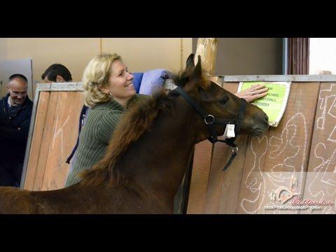 Megsz�letett az els� magyarorsz�gi morgan horse csik�