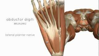 Muscles Of The Foot Part 2 - 3D Anatomy Tutorial