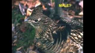 Ecology and Management of Ruffed Grouse and American Woodcock