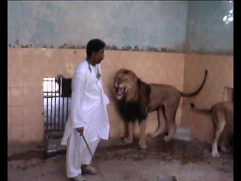 teasing - while visiting bahawlpur zoo in . A Brav man play wid lions... and its dangrs 2.