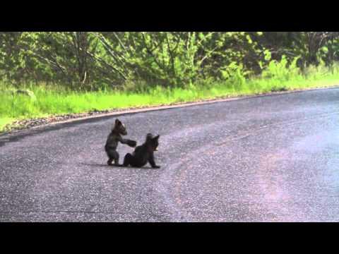 開車開到一半,轉彎處竟然看見兩隻小熊在打鬧?!根本是卡通才會出現的可愛景象~