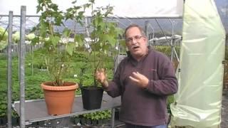 #263 Die schwarze Johannisbeere Cassissima Noiroma