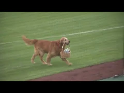 Dog carries water to players during baseball game (видео)