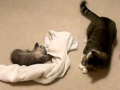 Big Cat Beats Up On Little Kitten - Plays Dead