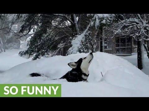 dolce-husky-nella-neve