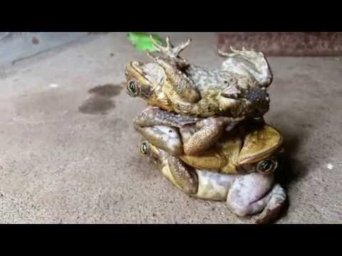 Australian Toad Stacking