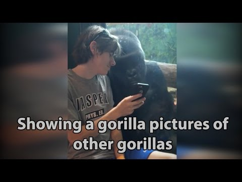 Man shows gorilla photos to gorilla at zoo