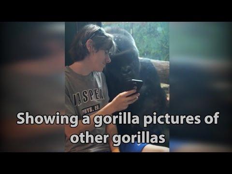 Man shows gorilla photos to gorilla at zoo