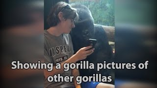 He showed a gorilla photos of other gorillas. Watch the original viral video here.
