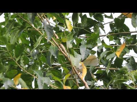 Casal de Caneleiro-verde(Pachyramphus viridis) em Porciúncula no Distrito de Santa Clara