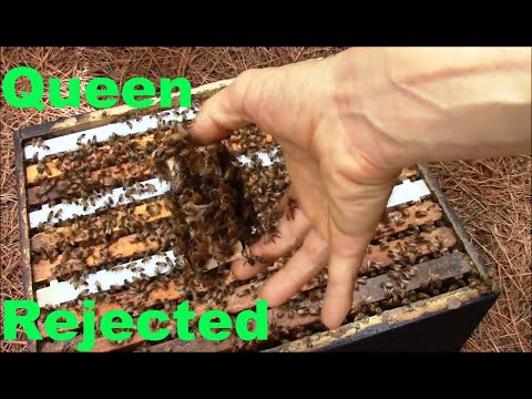 Incredible video showing what happens when bees don't accept the new Queen bee.