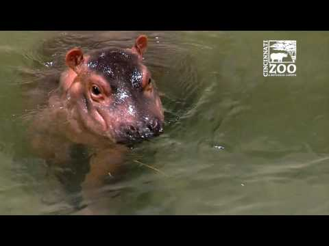 Adorable Baby Hippo Fiona Moves to Adult Hippo Pool at the Cincinnati