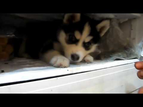 #Прикол!!! Щенок Хаски не хочет покидать морозильник!!! Жаркий день.Смешное видео# (видео)