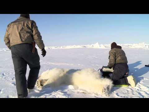 Polar Bear Research, B-Roll 1