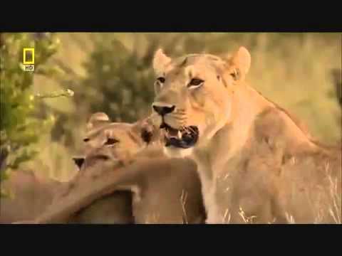Bull elephant vs Lion pride  Bull elephant SAVES BABY ELEPHANT AND DOMINATES LION PRIDE