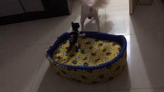 Наглый котенок согнал взрослую собаку с ее места