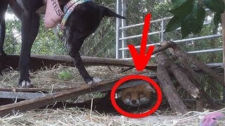 A Farmer Was Set To Shoot This Baby Fox, But Fate Stepped In And An Adorable Friendship Bloomed by Did You Know Animals?