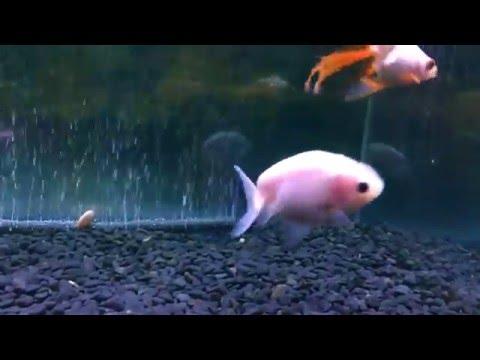 【金魚】のんびり金魚とせかせか江戸錦