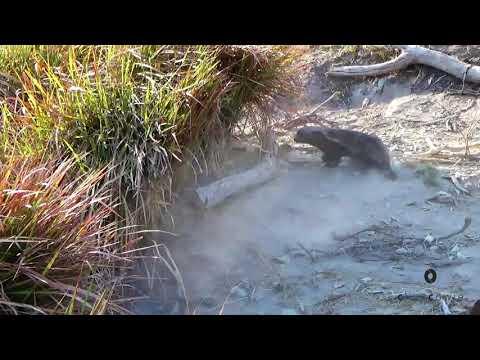Honey Badger vs Crocodile, who will win?