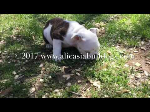Cosmo - Red Brindle & White male English Bulldog puppy