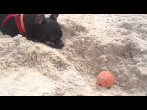 Chihuahua digging in the sand