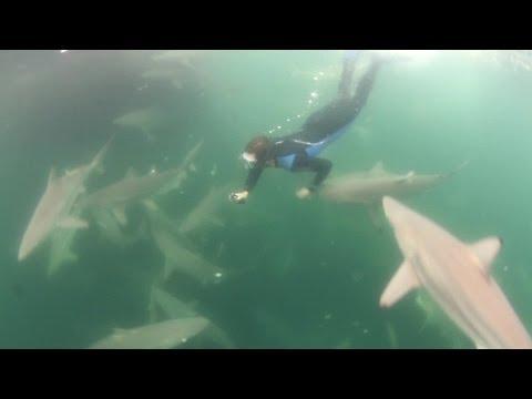 Sharks Feeding Behind Shrimp Boat