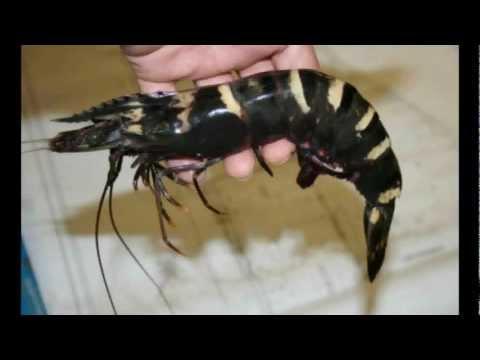 USA: Escaped Giant Asia Tiger Prawn Devours Species along the Gulf Coast