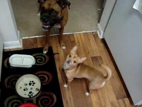 Boxer & Chihuahua vs. Bubbles