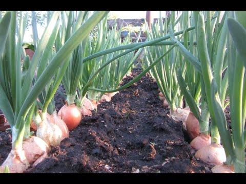 Выращивание лука на репку как бизнес 45