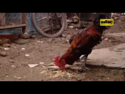 Piden extremar cuidados al criar aves