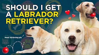 Should I choose a Labrador Retriever