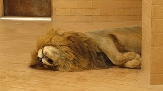Download Lagu Dunya News-Lahore zoo's oldest lion passes away at the age of 16 Mp3