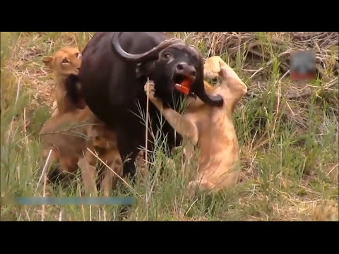 Most Amazing Wild Animal Attacks | When Prey Fights Back | Craziest Animal Fights 2016