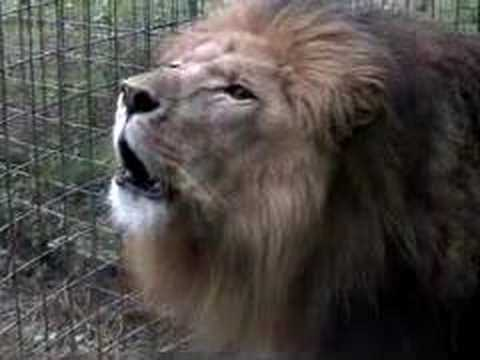 roar - CHECK OUT THE RESPONSE VIDEO - Funny Crazy BIG CAT SOUNDS!!! http://www.youtube.com/watch?v=pHZm52nvBB4&feature=channel !!!GET THE FREE LION ROAR RINGTONE...