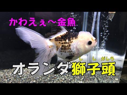 「変わり種金魚のオランダ獅子頭がものすげぇかわえぇ件」60㎝フレーム水槽 〖金魚〗