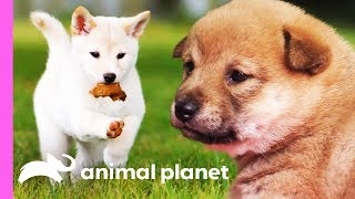 Mischievous Shiba Inu Pup Gets Her Sisters In On The Fun! | Too Cute! by Animal Planet
