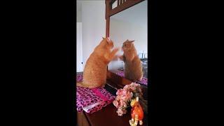 قطة تتصارع مع نفسها في المرآة