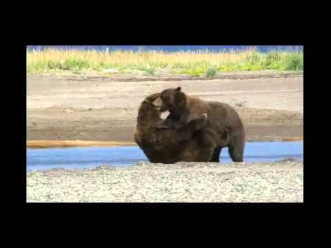 Big Alaska Brown Bears Playing at Hallo Bay