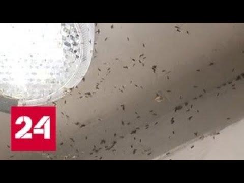 Красноярск беззащитен перед полчищами тополиной моли - Россия 24 - DomaVideo.Ru