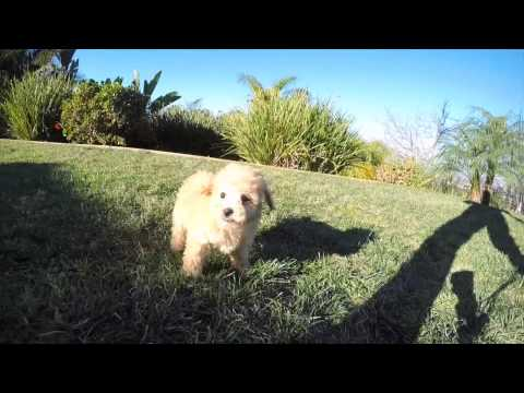 Apricot Ruby Red MaltiPoo Hybrid F