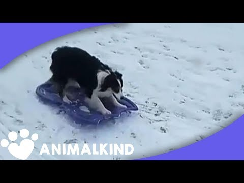Genius Dog Takes Herself Sledding In Snow