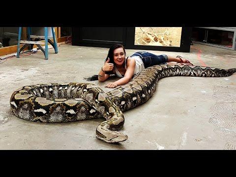 animali da record: ecco un pitone lungo 6 metri!