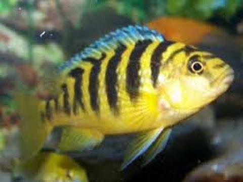 Bumblebee cichlid Fish