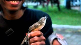 Download Video SUARA BURUNG : Ciblek Bajak Laut Dipegang Tangan Masih Nembak Ngebren MP3 3GP MP4