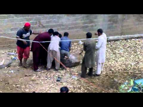 bakra eid qurbani 2011 - this is our bull for eid 2011, it took 3 hours and 3 different qasai to control him. this video is shot after it broke off the ropes tied to its leg for the ...
