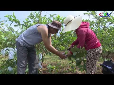 Thành lập Tổ hợp tác trồng ổi xã Cam Hiếu